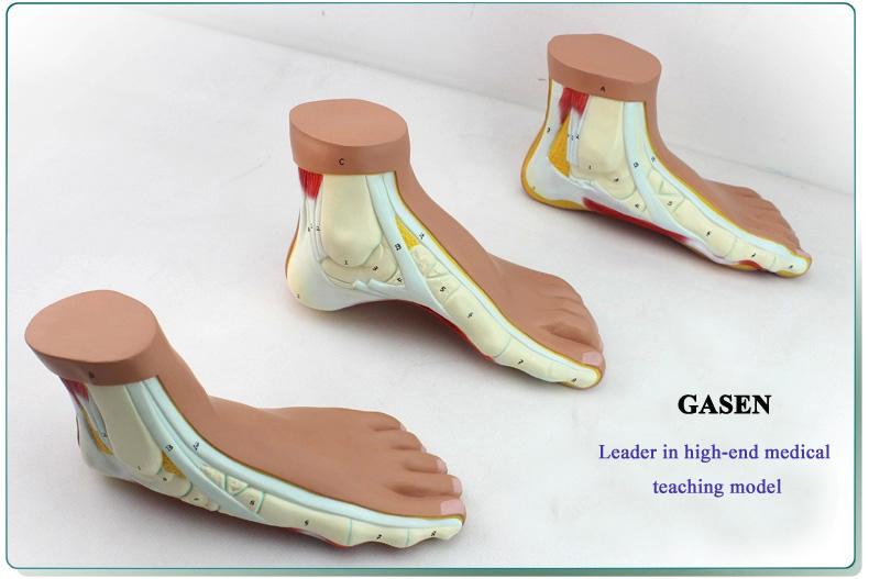 Foot model8