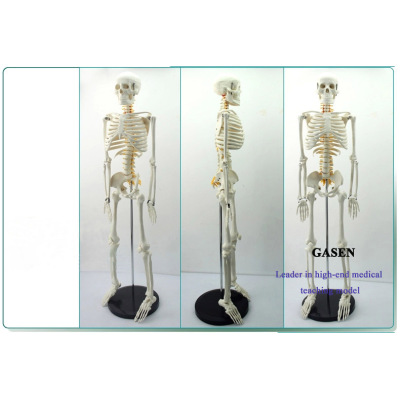 85CM HUMAN SKELETON  AND SPINAL NERVE MODEL GASEN-GL013