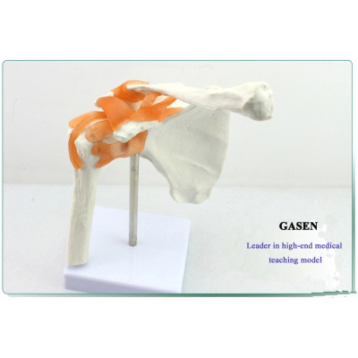HUMAN SHOULDER JOINT MODEL ARTHROSCOPIC  SURGERY DEMONSTRATION MODEL CLAVICLE BONE MODEL SHOULDER JOINT MODEL-GASEN-GL014