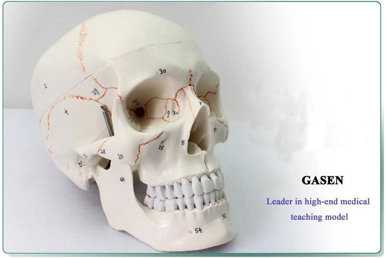Skull model1