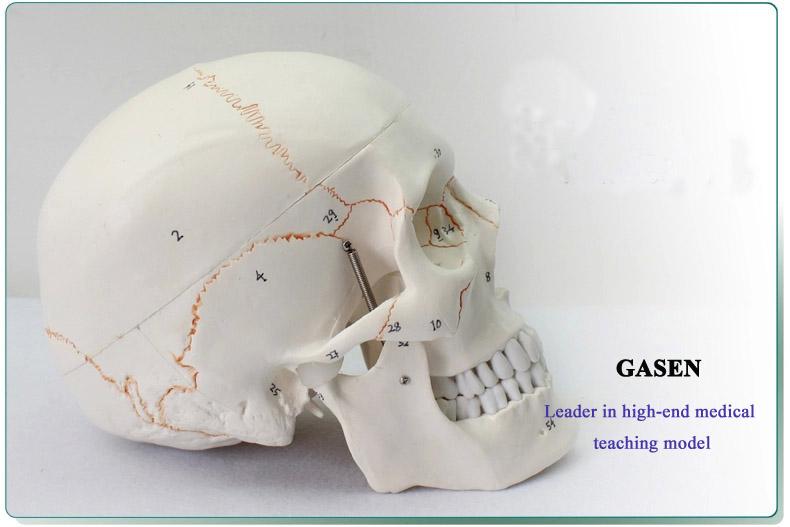 Skull model2