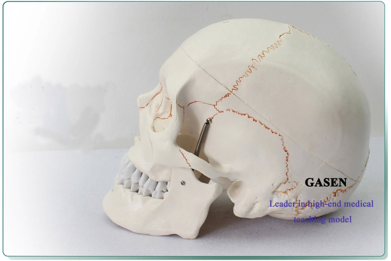 Skull model3