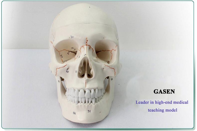 Skull model4