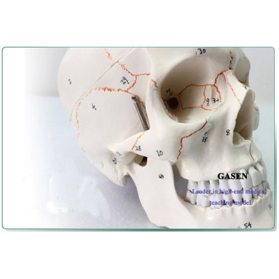 REALISTIC HIGH QUALITY LIFE-SIZE 1: 1 HIGH-END MEDICAL MODEL OF HUMAN SKULL MODEL  1:1 HIGH-END HUMAN SKULL MODEL-GASEN-GL017