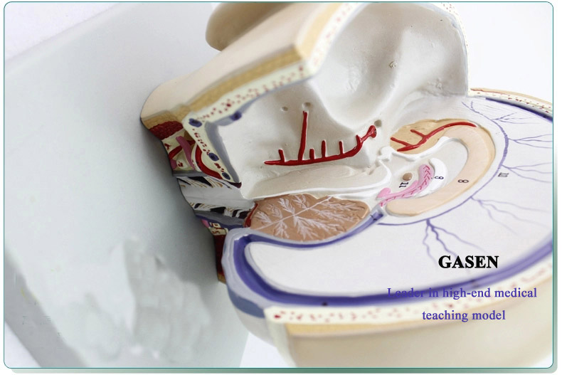 Mind Anatomy Model02