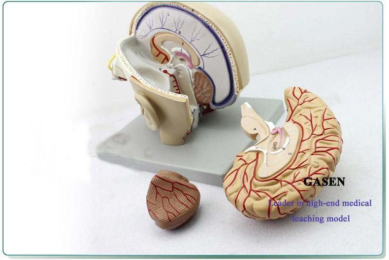 Mind Anatomy Model03