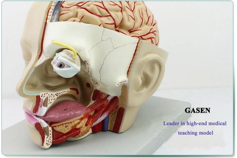Mind Anatomy Model04