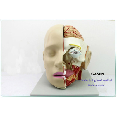HUMAN BRAIN FOR MEDICAL DEPARTMENT OF ANATOMY MIND MOUTH NOSE THROAT MODELS BRAIN ANATOMY AND ORAL NASAL THROAT MODEL-GASEN-GL018