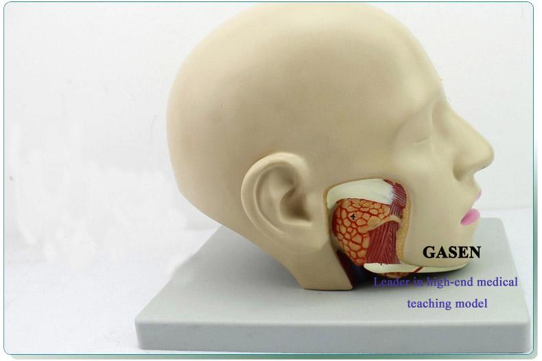 Mind Anatomy Model07