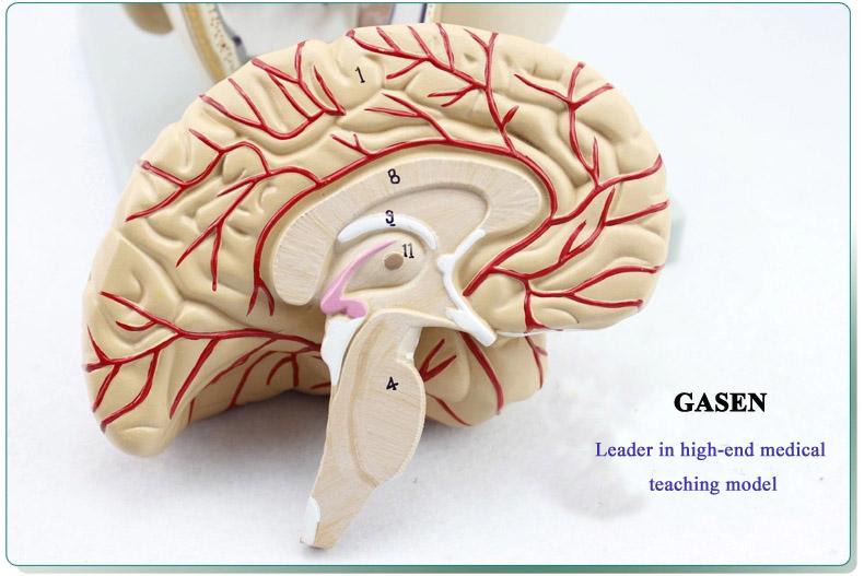Mind Anatomy Model08