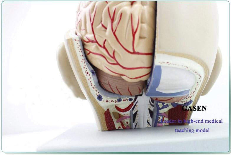 Mind Anatomy Model09