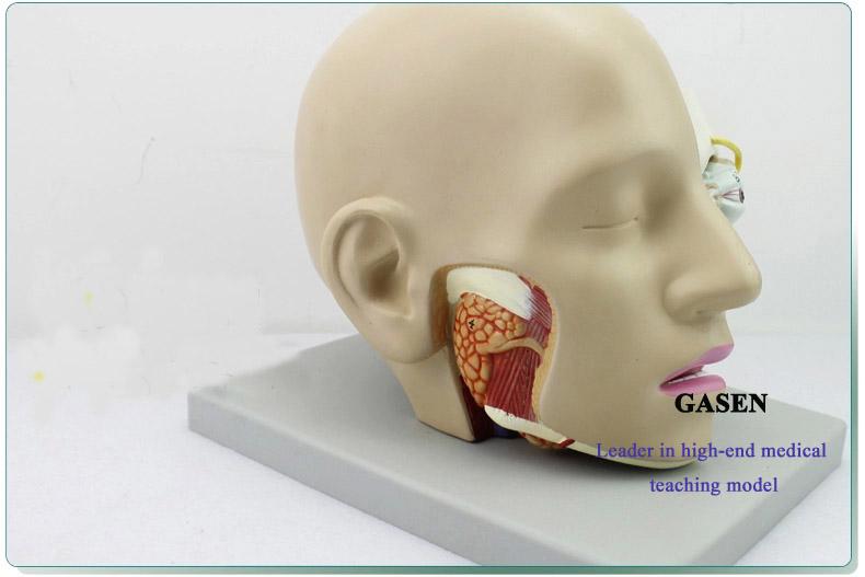 Mind Anatomy Model10