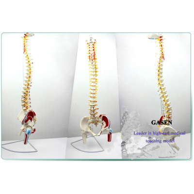 HUMAN BODY MODEL SPINE VERTEBRA PELVIS FEMORAL MUSCLE LOAD-POINT SPINAL VERTEBRAL ARTERY INTERVERTEBRAL DISC HERNIATION SPINE MODEL-GASEN-GL020