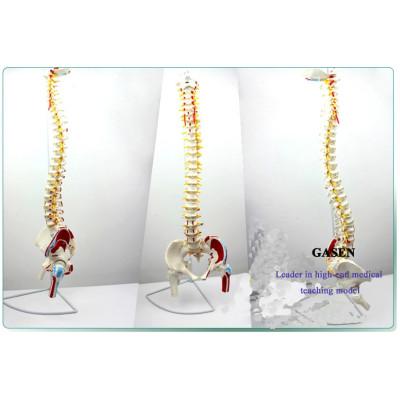 HUMAN BODY MODEL SPINE VERTEBRA PELVIS FEMORAL MUSCLE LOAD-POINT SPINAL VERTEBRAL ARTERY INTERVERTEBRAL DISC HERNIATION SPINE MODEL-GASEN-GL020