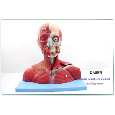 HUMAN SKELETON MODEL BRAIN AND NEURAL BRAIN MODEL-GASEN-GL023