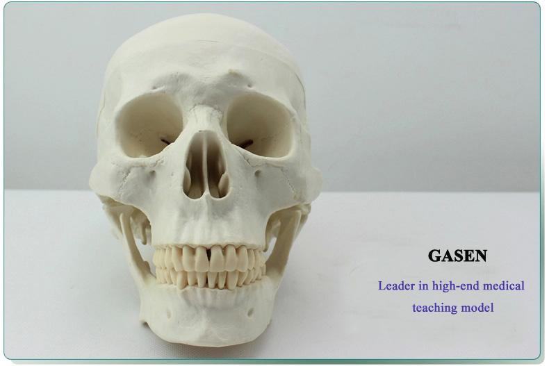 Asian human skull mode1