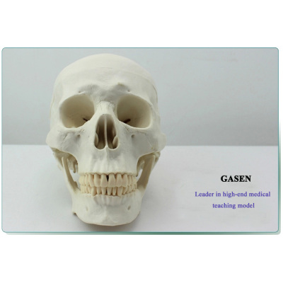 HUMAN SKULL MODEL ANATOMICAL MODEL OF THE SKULL THE HUMAN SKULL MODEL OF ASIAN VERSION-GASEN-GL024