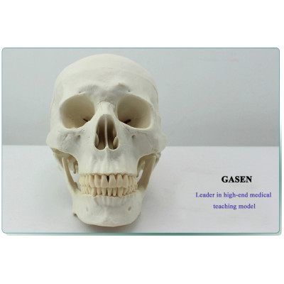 HUMAN SKULL MODEL ANATOMICAL MODEL OF THE SKULL THE HUMAN SKULL MODEL OF ASIAN VERSION-GASEN-GL024