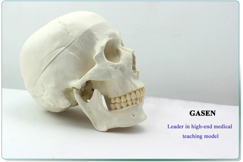 Asian human skull mode3