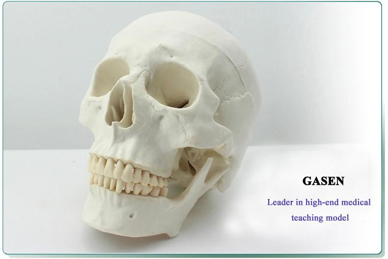 Asian human skull mode4