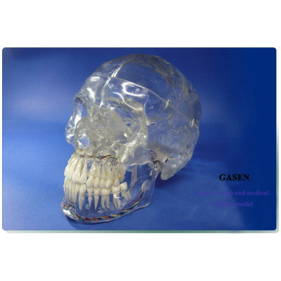 TRANSPARENT SKULL BONE MODLE NERVE MANDIBLE  DENTISTRY SKULL MODEL X RADIOLOGY NEUROLOGY TRANSPARENT SKULL MODEL-GASEN-GL025