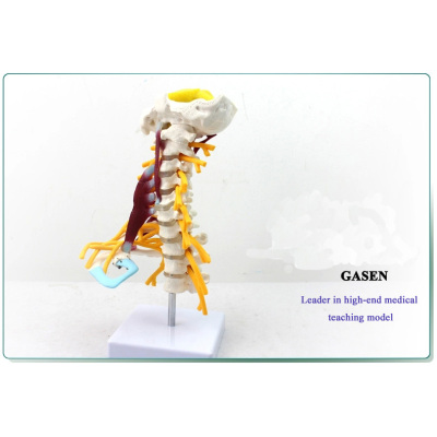 HUMAN BONE MODEL THE HUMAN SKELETON SPECIMEN MODEL-GASEN-GL028