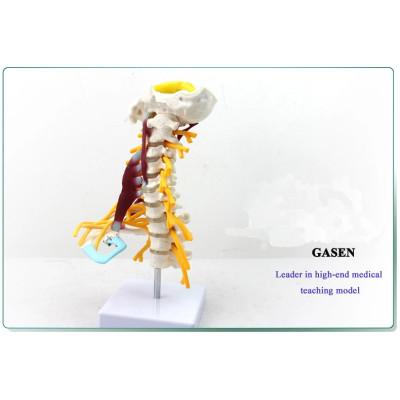 HUMAN BONE MODEL THE HUMAN SKELETON SPECIMEN MODEL-GASEN-GL028