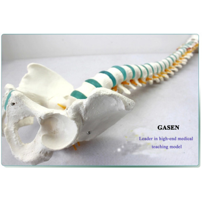 HUMAN SPINE MODEL CERVICAL SPINE THORACIC AND LUMBAR PELVIC LEG MODEL ORTHOPEDICS HUMAN SPINE MODEL-GASEN-GL029