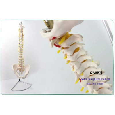 THE EUROPEAN VERSION OF THE HUMAN SPINE MODEL CERVICAL THORACIC AND LUMBAR SPINE MODEL PELVIS ORTHOPEDICS FOR 1:1 PVC MATERIAL HUMAN SPINE MODEL OF  EUROPEAN VERSION-GASEN-GL033