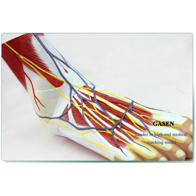 MEDICAL FOOT LEVEL NEUROVASCULAR ANATOMY OF THE FOOT JOINT AND MUSCLE FOOT JOINT LIGAMENTS MODEL OF HIGH IMITATION FOOT ANATOMY-GASEN-GL034