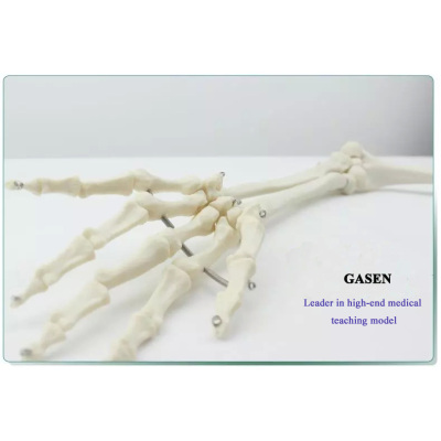 HUMAN SKELETON MODEL HUMAN BONE MODEL THE MODEL OF HUMAN UPPER LIMB BONE-GASEN-GL041