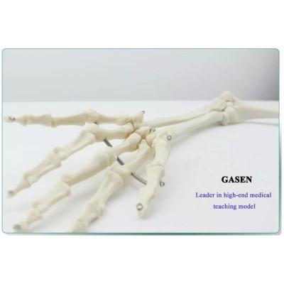 HUMAN SKELETON MODEL HUMAN BONE MODEL THE MODEL OF HUMAN UPPER LIMB BONE-GASEN-GL041