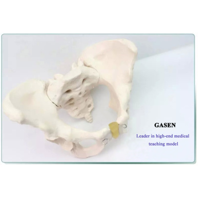 MEDICAL FEMALE PELVIC STRUCTURE HUMAN BLADDER VAGINA HIGH QUALITY AND REALISTIC TEACHING MODEL STANDARD FEMALE PELVIS-GASEN-GL042