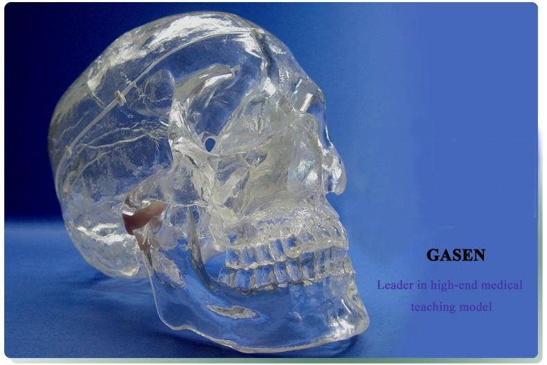 Transparent skull anatomy2