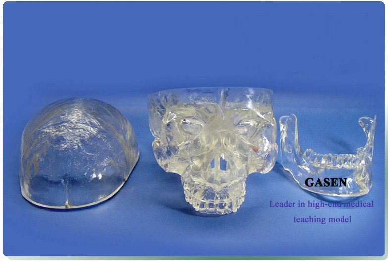 Transparent skull anatomy3