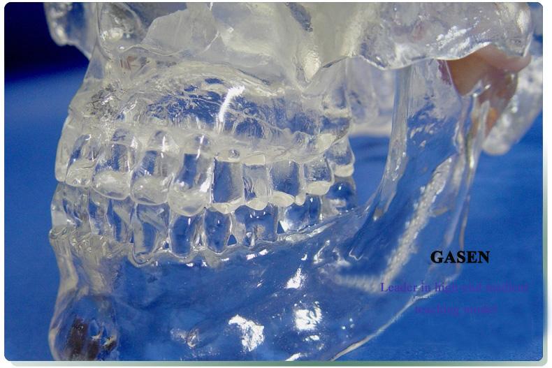 Transparent skull anatomy5
