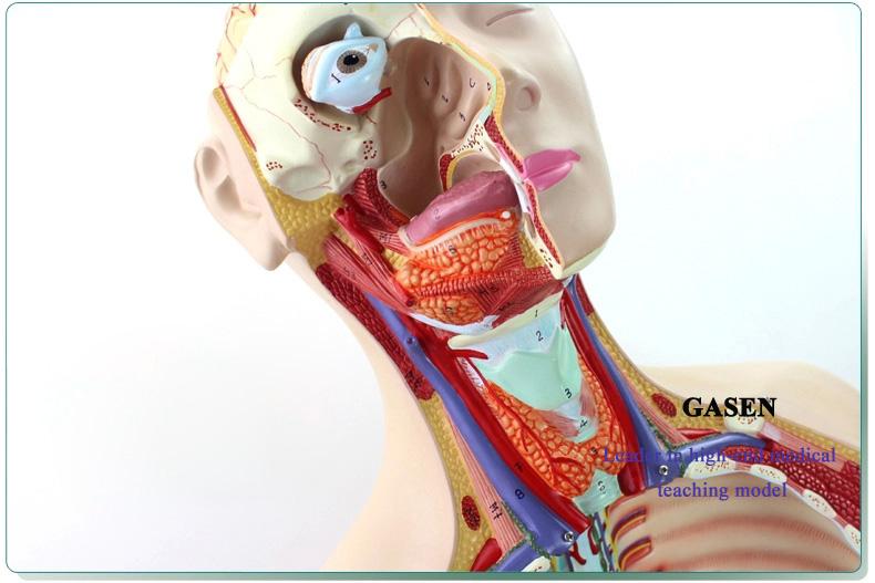 85CM Human organs04