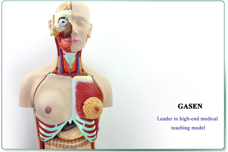 85CM Human organs06