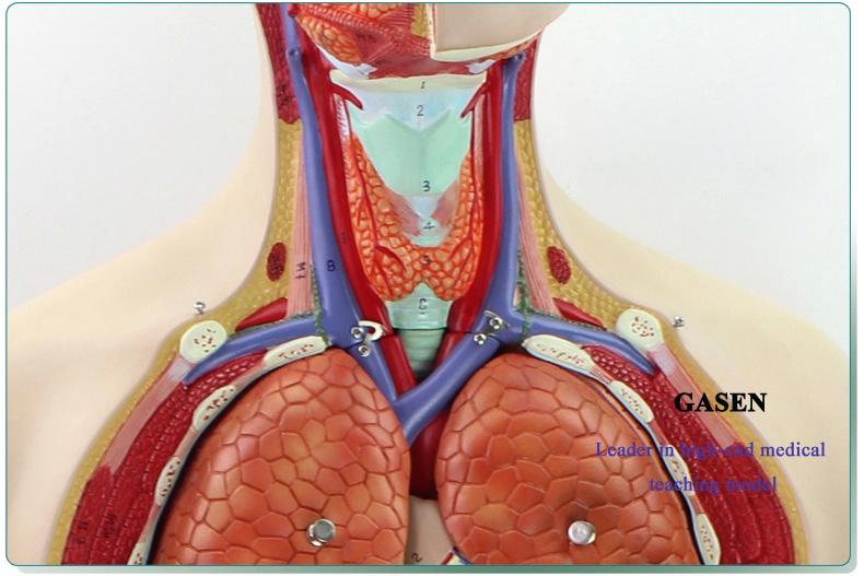 85CM Human organs08
