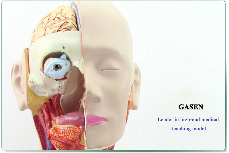 85CM Human organs09