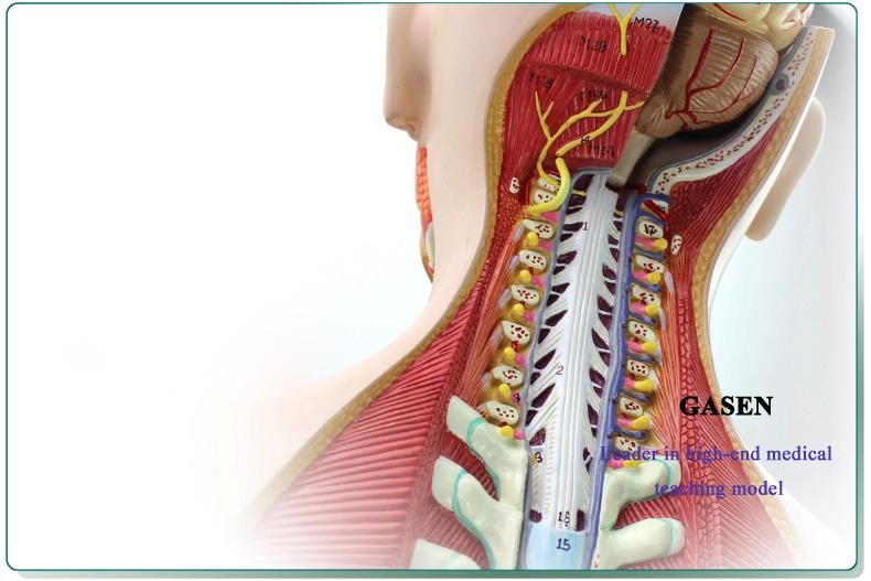 85CM Human organs11