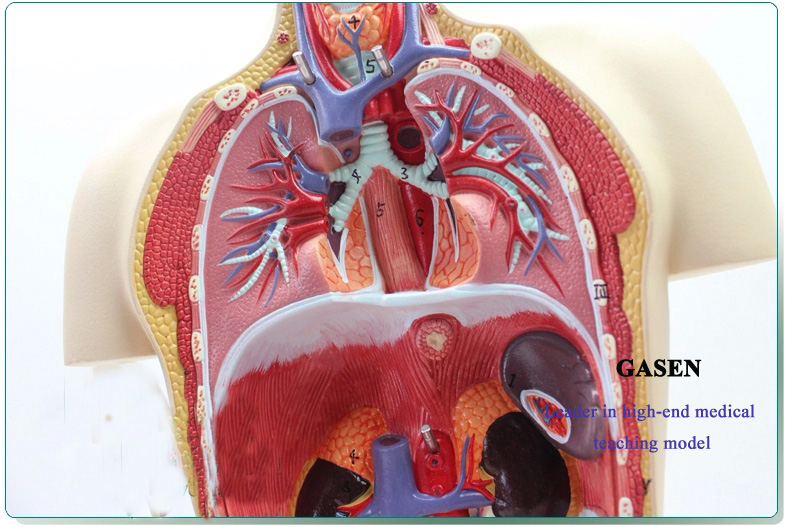 Human body organs08