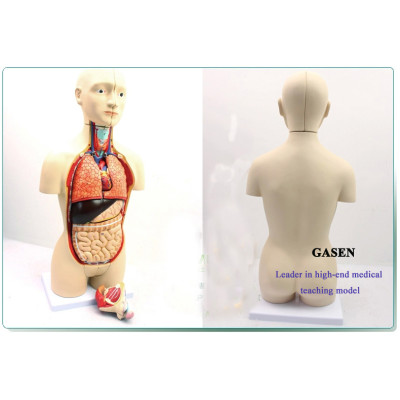 GENUINE AND MEDICAL ANATOMICAL MODEL OF HUMAN ORGANS ANDROGYNY VERSION HUMAN GUT STRUCTURE,FIT TO MEDICAL AND SCHOOL TAECHING GASEN-JP002