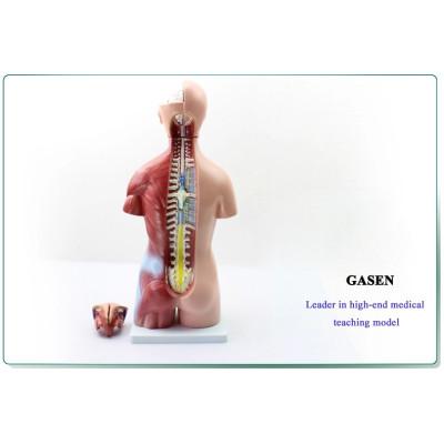 45CM GENUINE GENDER TORSO ANATOMY OF ENVIRONMENTALLY FRIENDLY PVC OF HUMAN ORGANS MODEL OF HUMAN ANATOMY OF GASEN-JP004