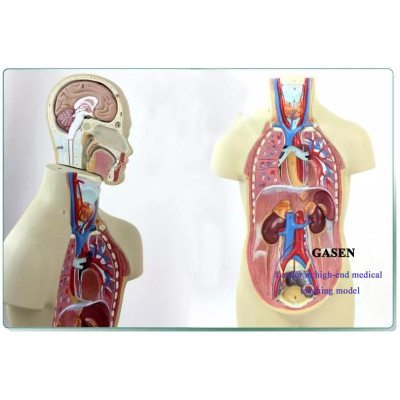 NONTOXIC MATERIALS FINE SHAPE MEDIUM BODY ORGANS ANATOMICAL MODEL STRUCTURAL MODEL OF HUMAN ANATOMY FOR MEDICAL SYSTEMS GASEN-JP006