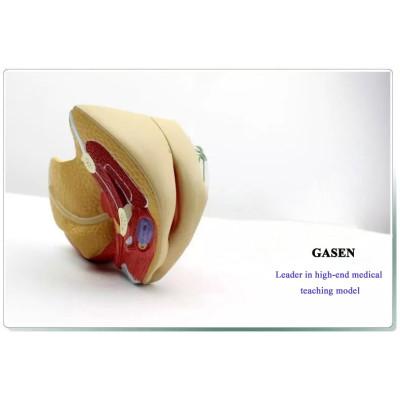 MEDICAL GENUINE WOMAN FEMALE REPRODUCTIVE SYSTEM MODEL UTERINE ANATOMY UTERUS FALLOPIAN TUBE MODEL PVC ENVIRONMENTALLY MATERIAL GASEN-SZ003
