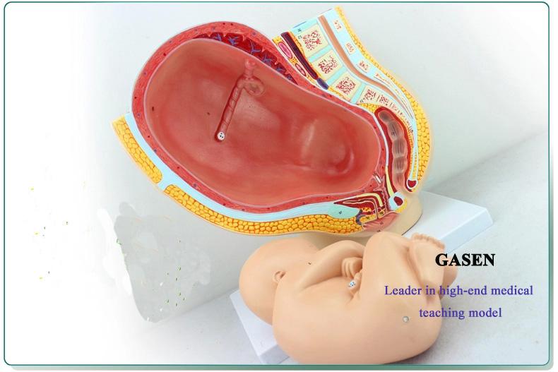9 months Fetal pelvic11