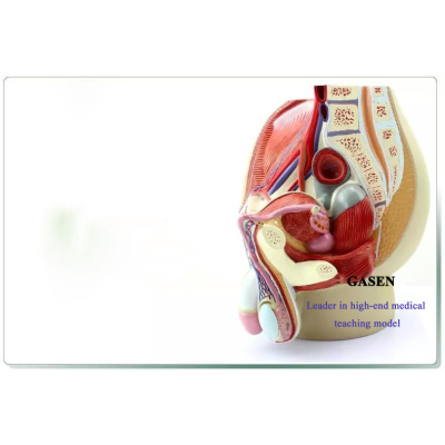 HUMAN MEDICAL REPRODUCTIVE MODEL MALE GENITOURINARY SYSTEM MODEL-GASEN-SZ008