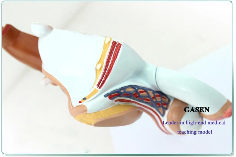 Male reproductive pathology11