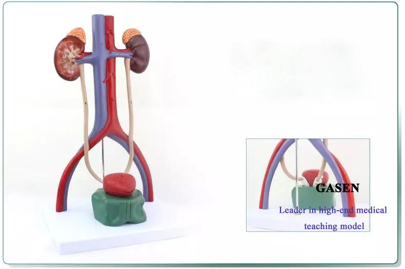 urinary system4